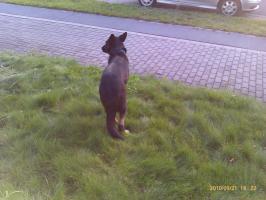 Foto 2 ******Lieber Schäferhund*****