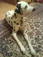 Lieber und hübscher Dalmatiner- Rüde abzugeben