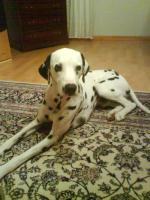 Foto 2 Lieber und hübscher Dalmatiner- Rüde abzugeben