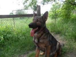 Liebevolles Zuhause für Deutschen Schäferhund Cody