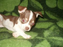 Foto 5 Lilac und Schoko Chihuahua Welpen