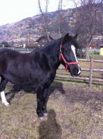 Foto 2 Lipizzaner-Quarter Horse sucht ein neues zu Hause