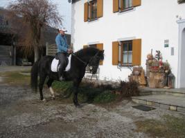 Foto 3 Lipizzaner-Quarter Horse sucht ein neues zu Hause