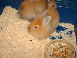 Foto 2 Löwenkopf Kaninchen 9 Wochen alt