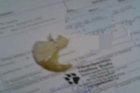 Foto 2 Löwenkralle, Taxidermy, Lion claw, SELTEN! ANSEHEN!
