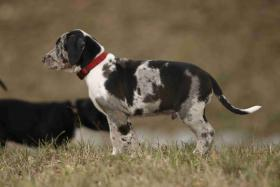 Louisiana Catahoula leopard dog-Welpen