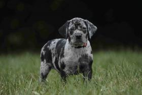 Foto 3 Louisiana Catahoula leopard dog-Welpen