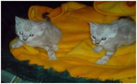 Foto 2 Luxury BENGAL kittens - boys mit Pedigree aus USA Linie!