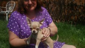 Foto 2 Luxus Chihuahua Rüde mit russischen Papieren