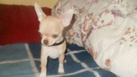 Foto 4 Luxus Chihuahua Rüde mit russischen Papieren