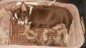 Foto 5 Luxus Chihuahua Rüde mit russischen Papieren