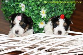 Luxus Welpen Biewer Yorkshire Terrier