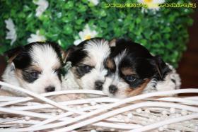 Foto 2 Luxus Welpen Biewer Yorkshire Terrier