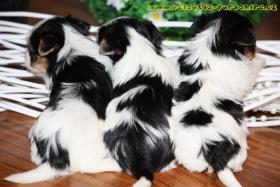 Foto 3 Luxus Welpen Biewer Yorkshire Terrier