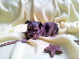 Luxus Welpen Merle Yorkshire Terrier mit Papiere
