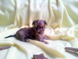 Foto 2 Luxus Welpen Merle Yorkshire Terrier mit Papiere