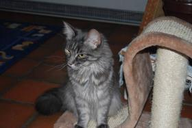 Foto 5 MAIN COON BLUE TABBY