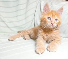 MAINE COON Kater (Kitten) in versch. Farben m. P.