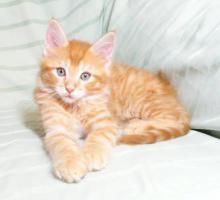 Foto 3 MAINE COON Kater (Kitten) in versch. Farben m. P.