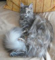 Foto 4 MAINE COON Katze, Jungkatze, *04.7.10, blue torbie, Stammbaum, geimpft, gechipt, sehr typvoll mit Luxpinseln und langem Schwanz