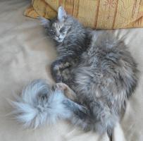 Foto 5 MAINE COON Katze, Jungkatze, *04.7.10, blue torbie, Stammbaum, geimpft, gechipt, sehr typvoll mit Luxpinseln und langem Schwanz