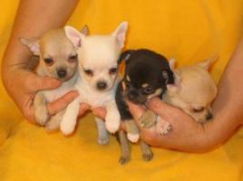 MINI MINI Chihuahua Preis: 150