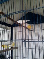 Männchen Kanarienvogel aus Außenvoliere
