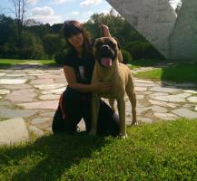 Männlich Bullmastiff Juniorenmeister von Serbien ist bereit für die Paarung
