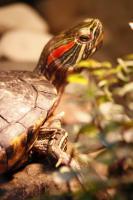 Männliche Rotwangenschmuckschildkröte sucht ein neues Zuhause!