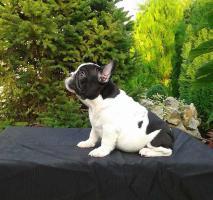 Männliche französische Bulldogge Welpe zu verkaufen