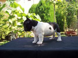 Foto 2 Männliche französische Bulldogge Welpe zu verkaufen