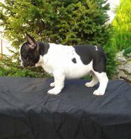 Foto 3 Männliche französische Bulldogge Welpe zu verkaufen
