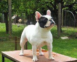 Foto 6 Männliche französische Bulldogge Welpe zu verkaufen