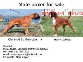 Foto 6 Männlichen boxer zum verkauf