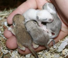 Mäuse Babys