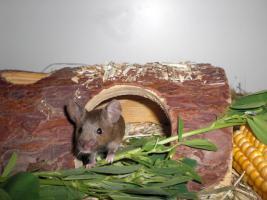 Foto 2 Mäuse, Farbmäuse