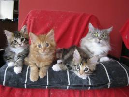 Main-Coon-Kätzchen