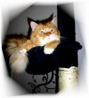 Foto 4 Main Coon Kater