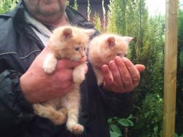 Main Coon Kater Kitten oP