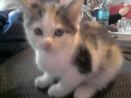Foto 3 Main Coon Kitten