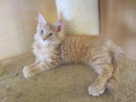 Main Coon Kitten mit Stammbaum