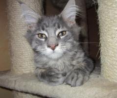 Foto 2 Main Coon Kitten mit Stammbaum