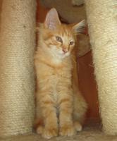 Foto 3 Main Coon Kitten mit Stammbaum