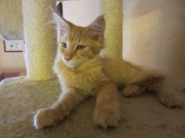 Foto 4 Main Coon Kitten mit Stammbaum