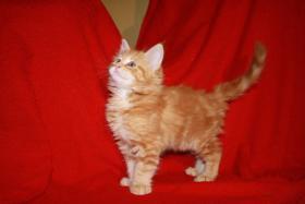 Main Coon Kitten abzugeben