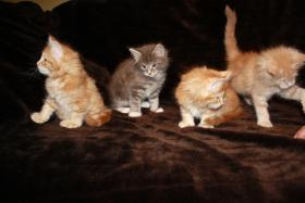 Foto 2 Main Coon Kitten abzugeben