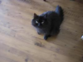 Maine Conn/Perser Mix Kater