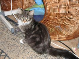 Foto 5 Maine Coon