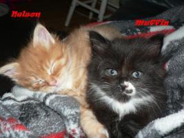 Foto 2 Maine Coon Babies-Katzenbabies-Kitten-Sechs Wochen alt