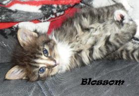 Foto 4 Maine Coon Babies-Katzenbabies-Kitten-Sechs Wochen alt